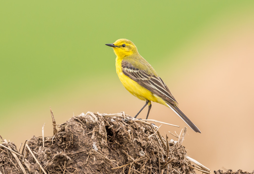 Male Yellow Wagtail - By Paul Higgs