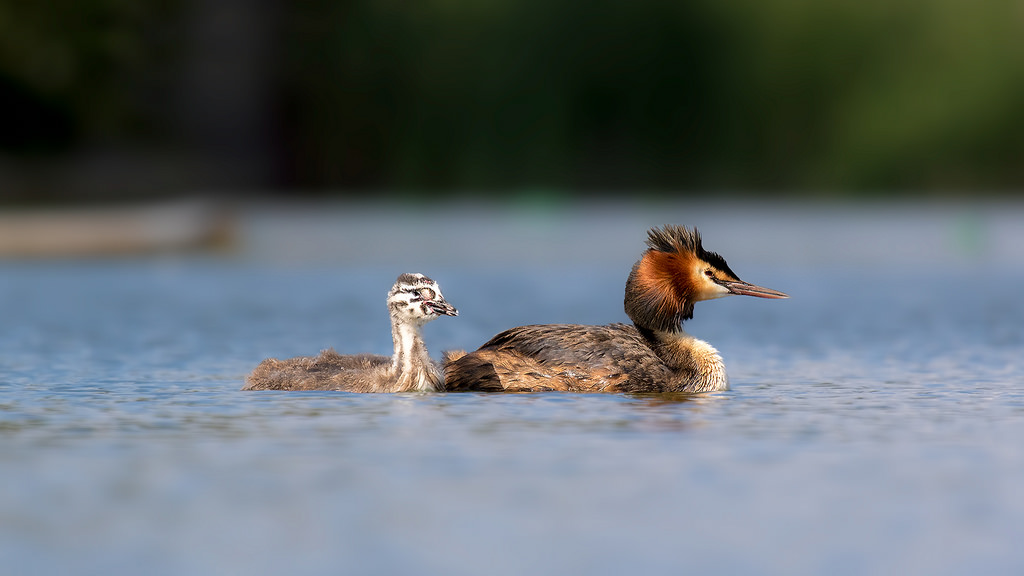 Great Crested Grebe with Chick - By Phill Luckhurst