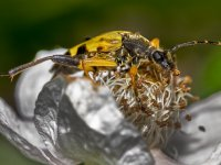 black  yellow spotted longhorn 14412367374