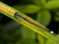 blue-tailed damselfly male 14722783543