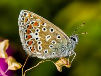 common blue butterfly 14753127998