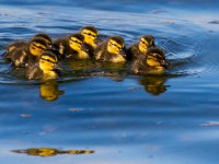 ducklings 13880494363