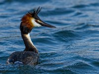great crested grebe 14095147653