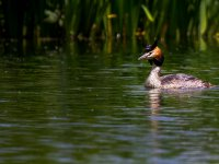 great crested grebe 14192493063