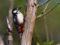 greater spotted woodpecker 14144687645