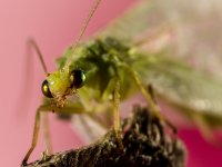 green lacewing 13632905185