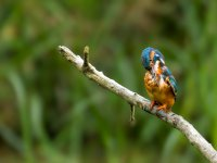 kingfisher 14516560130