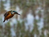 kingfisher takeoff 14395759061
