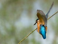 kingfisher_landing 14212668097