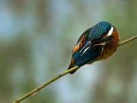 kingfisher_scratch 14375990126