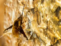 large bee fly 13493638683