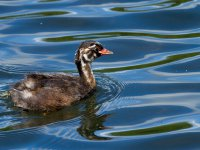 little-grebe-chick 14368333484
