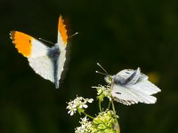 orange tip pair mating 13888478577