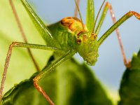speckled bush cricket 14810471174