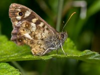 speckled wood 14398941546