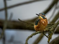 young kingfisher 14338363812