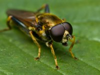 golden fly - hoverfly xylota segnis 17513026729
