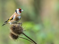 goldfinch 15799205368