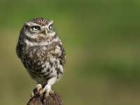 another shot of yesterdays little owl 15406607567