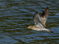 curlew 15466705082