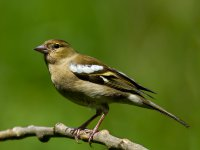 female chaffinch 14359032442