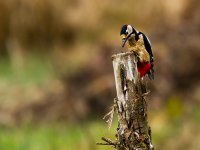 greater spotted woodpecker 15003718033
