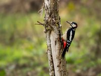 greater spotted woodpecker 15438293420