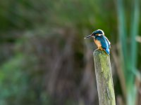 kingfisher - maple lodge 15573477951