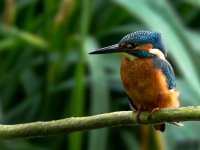 kingfisher at maple lodge 14393623418