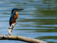 male kingfisher 14173905929