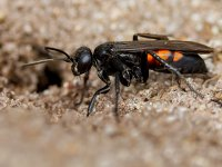 spider-eating wasp 17185380465