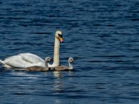 swan and signets 14359039882