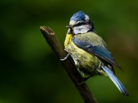 young blue tit 14173903749