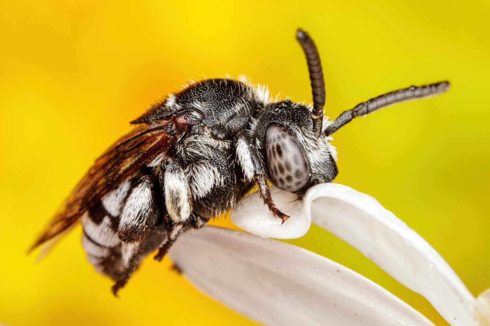Cuckoo Bee - By John Kimble
