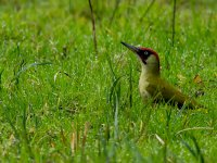 green woodpecker 15624723482