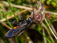 heathland pompilidae or spider-eating wasp anoplius viaticus with prey 17169849722